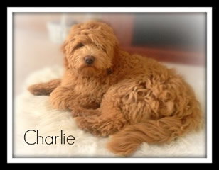 Lakeview's Goldendoodle Puppies New York/ Goldendoodle Breeder New