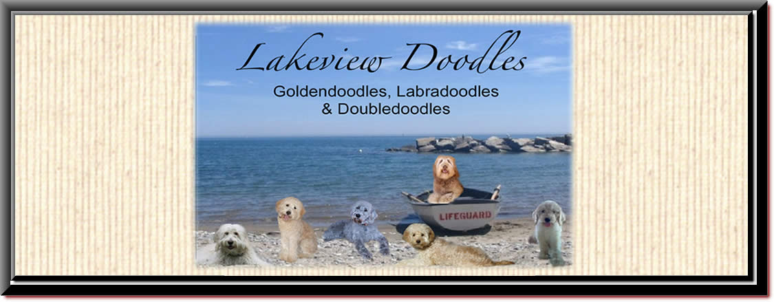 Lakeviews Goldendoodle Puppies New York Goldendoodle